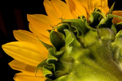 sunflowerBack2